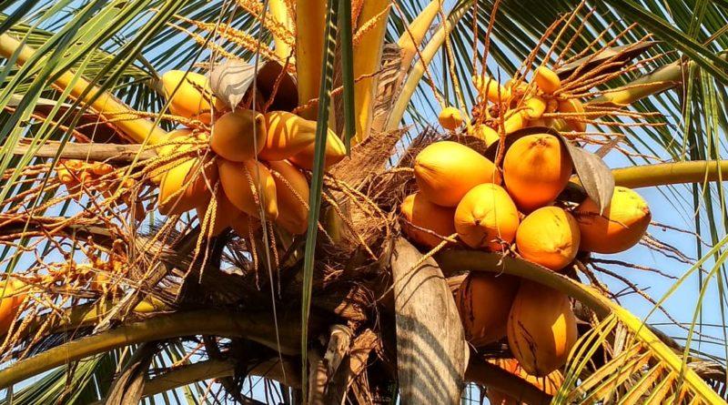 Королевский кокос